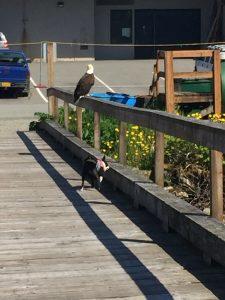 Bald Eagles Alaska